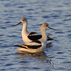 Winter Avocet Pair