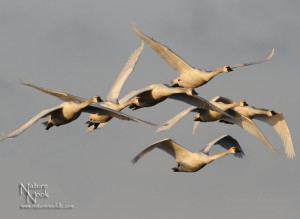 WinterTundra Swans in Flight 3