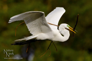 Great Egret with Nesting Material for blog