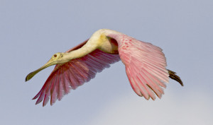 Immature Spoonbill in flight for OFC Blog