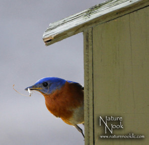 bluebird on house for NL